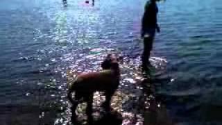 Engelsk mastiff Holger er en rigtig vandhund :-D