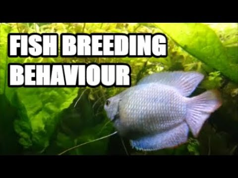 Fish Courtship And Breeding Behaviour - Dwarf Gourami
