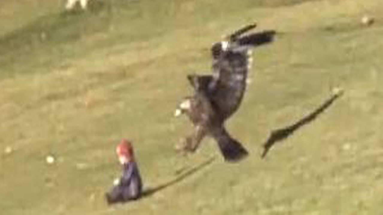 A Golden Eagle Attempts Top Snatch A Baby In Montreal