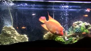 Red Devil Cichlid Feeding