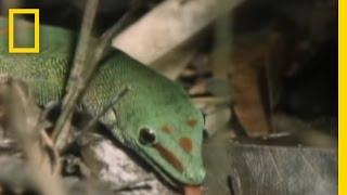 Meet the Ninja Gecko | National Geographic