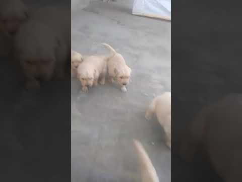 Golden retriever male and female dog for sale in Delhi Dwarka pet shop at wholesale rate call us now