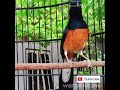 Muray Yg Tadinya Ngriwik Mendadak Ngeplong Pasti Coba Dengerin  Mp3 - Mp4 Download