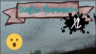 Starling Murmuration XL