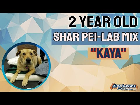 2 year old Shar Pei Lab Mix (Kaya)| 2 week Board & Train | Delaware Dog Trainer