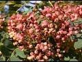 Sorbus hupehensis 'Pink Pagoda' video