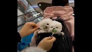 Cutest dog in the world   Bichon Frise #CUTE