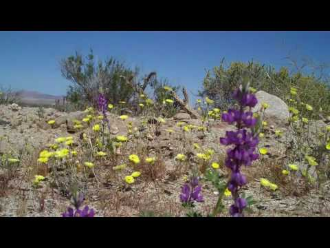 Wildflowers in the Anza-Borrego Desert State Park