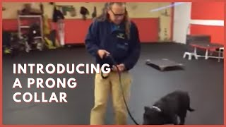 Training | Introducing a prong collar to a new dog | Solid K9 Training Dog Training