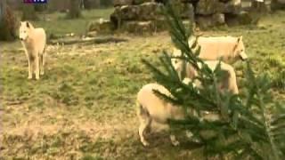 Le retour du loup en France - reportage au Parc Sainte-Croix - 26mn - France 3