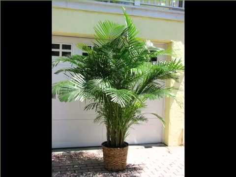 Areca Palm Indoor House Home Of Indoor Amp Office Plants