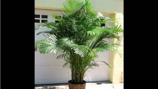 Areca Palm Indoor | House - Home Of Indoor & Office Plants Picture Collection