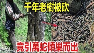 千年老樹被砍,竟引萬蛇傾巢而出,全村皆亡僅剩壹老者獨活!
