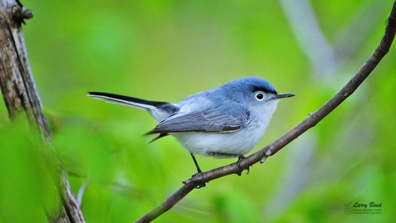 Image result for blue grey gnatcatcher
