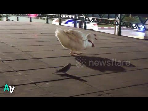 Duck and Budgie Walk Across Bridge Together