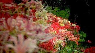 春には桜と菜の花が咲き誇る吉見町のさくら堤公園。 1.8kmにも及ぶ桜堤...