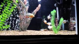 Piranahas slay chubby goldfish