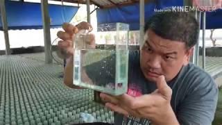 Betta Farm ep.2ตอน ทำฟาร์มปลากัดยากมั้ย ต้องทำอะไรบ้างนะ