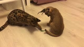 Саванна и каракал против саранчи. Caracal and savannah versus grasshopper. Savannahcat. Caracal