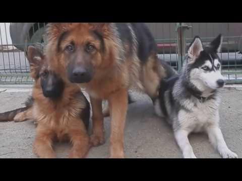 КТО УМНЕЕ 2.Which dog is smarter? ХАСКИ И НЕМЕЦКИЕ ОВЧАРКИ.Training Odessa.