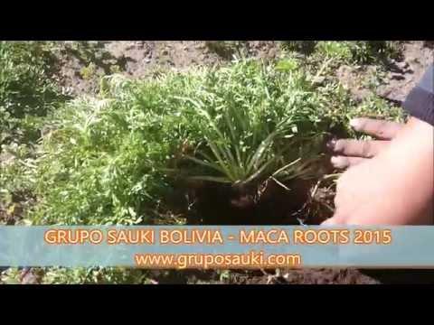 Maca Roots 2015 - Grupo SAUKI Bolivia 1 - HD