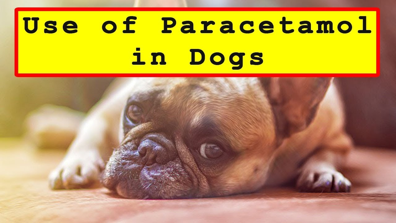 Can I Give My Dog Paracetamol >> Use Of Paracetamol Painkillers In Dogs Youtube
