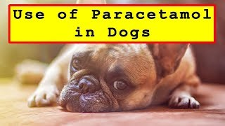 Use of Paracetamol Painkillers in Dogs