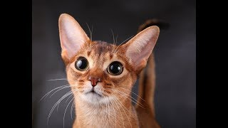 Милые абиссинские котики | Видео приколы про абиссинских кошек