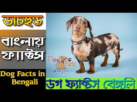 Dachshund dog facts in Bengali | Dog Facts Bengali | Popular Dogs