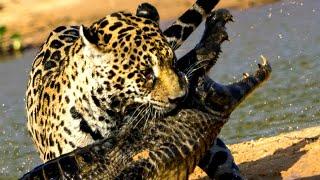 ТОП 10 СМЕРТЕЛЬНЫХ БИТВ ЖИВОТНЫХ снятых на камеру. Часть 2. Нападение животных. Кузница Фактов