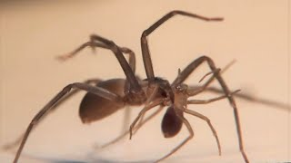 Brown Recluse Spider - Cannibalism and Pooping