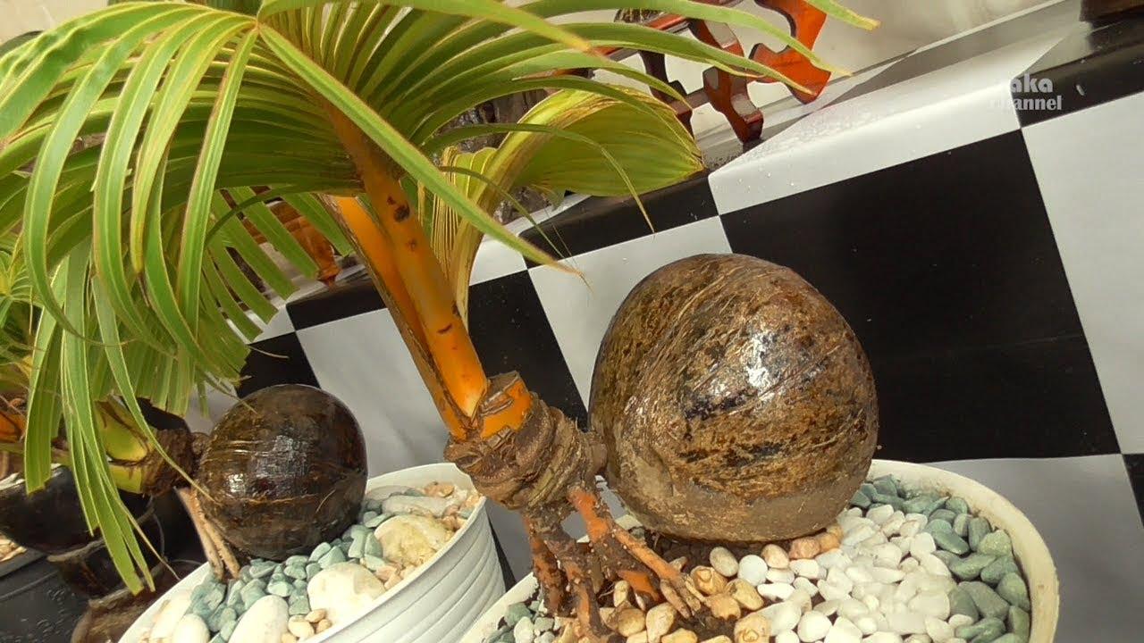 Pameran Bonsai Kelapa Unik Semarapura Klungkung Bali Youtube