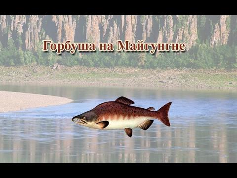 Русская Рыбалка 3.99 Горбуша на Майгунгне
