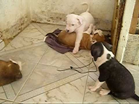 Jamaican Wi Pitbull Puppies Youtube