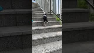Bombo the Shih Tzu dog in Seou…