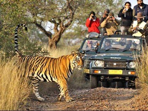 Thrilling moments during tiger safari At Kanha National Park - India