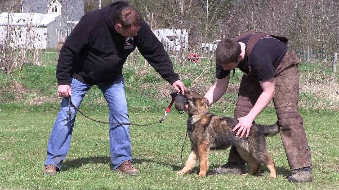 Kraftwerk K9 German Shepherd Protection Work at 4 Months ...Kraftwerk K9