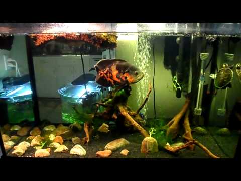 Tiger Oscar and Painted Turtle | Feeding the Tiger Oscar and Turtle in 65 Gallon Aquarium