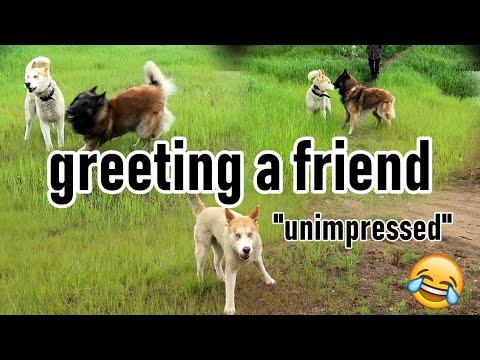 How my Dog Greets his Dog Friends | Belgian Shepherd Vs Unimpressed Husky