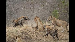 Hyena Herd Gank Lions While Eating | #animals #wildlife #lion #hyena