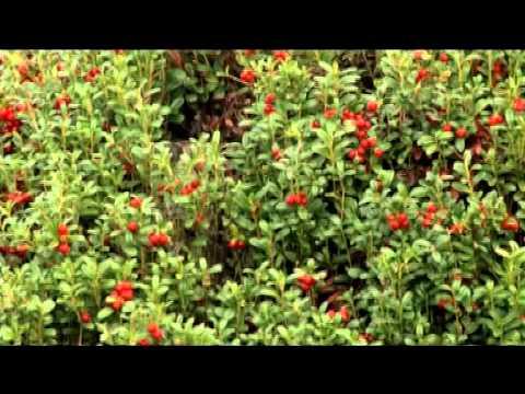 Ягоды Карелии Природа Карелии, сбор дикорастущих ягод