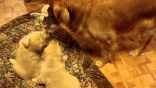 ゴールデンレトリーバーの子犬ちゃん。生後1ヶ月半。パパと遊べる様にな...