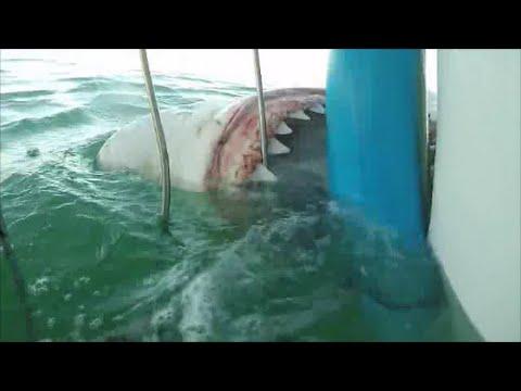 Sudafrica squalo bianco attacca una gabbia di sub youtube for Disegno squalo bianco