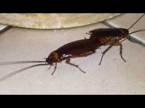 Are Cockroaches A Sexual