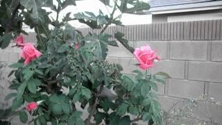 First Prize Hybrid Tea Rose