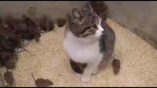 Кот-лох  не ловит мышей