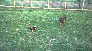 видео с петухом(келпи пасет петушка., 2015-08-14T11:02:32.000Z)
