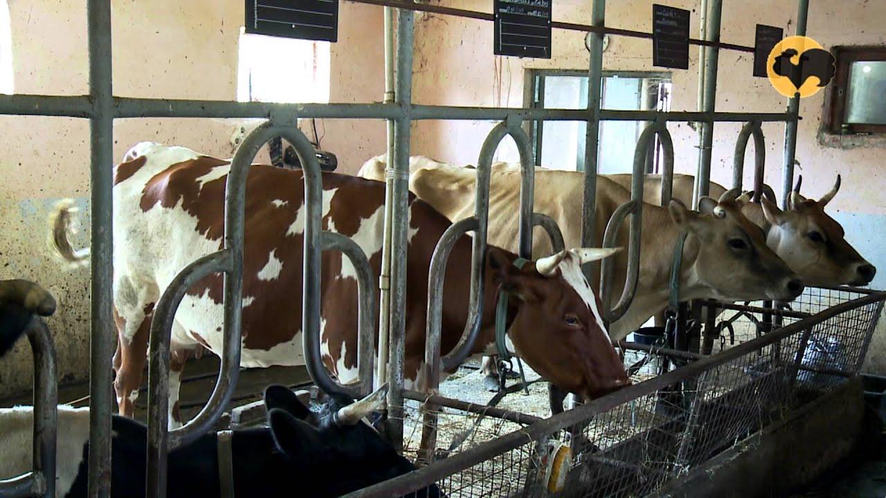 Продажа покупка коров, телят, крс: 383 актуальных объявлений от животноводов россии с прямыми контактами, без посредников.