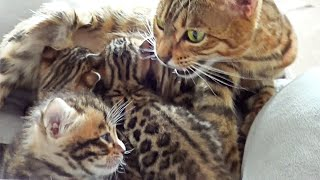 Mother cat having a Conversation with her Kittens