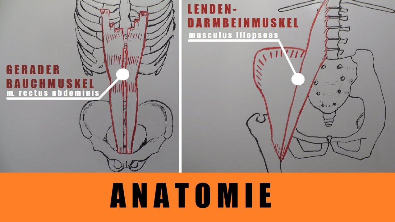 Gerade Bauchmuskeln richtig trainieren - Anatomie rectus abdominis ...